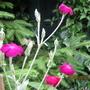 Crimson Rosa Campion