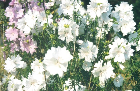 Checker Mallow  (sidalcea)