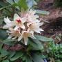 Rhododendron 'Starlight Champagne' (Rhododendron 'Starlight Champagne')