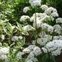 Valeriana officinalis (Valeriana officinalis (Arznei-Baldrian))
