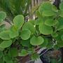 Actinidia Jenny..... (Actinidia deliciosa (Kiwi fruit))