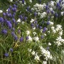 Muscari underplanting (Iberis sempervirens (Candytuft))
