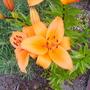 Orange lily (lilium)
