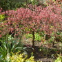 Acer Japanese Maple 2-3ft high