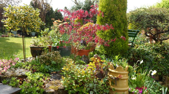 Acer Palmatum Atropurpeum