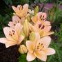 peach lilies (lilium)