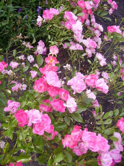 A garden flower photo (rosa radyod)