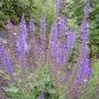 Salvia 'May Night' (Salvia nemorosa (Sage))