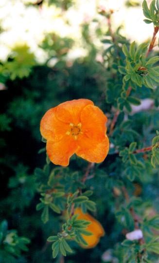 Potentilla 'sunset' (potentilla fruticosa)