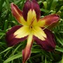 Daylily - 'Applique'