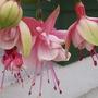 Trailing Fuchsia (var.unknown)