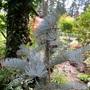 Abies concolor 'Candicans'
