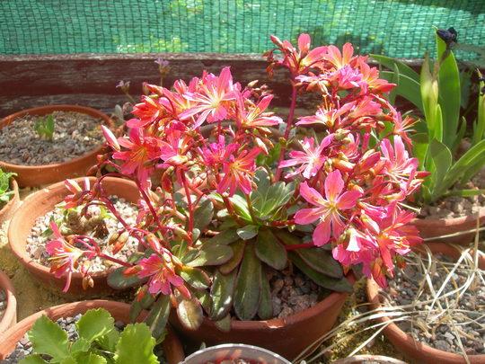 Lewisia hybrid (Lewisia)
