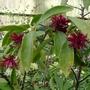 Illicium floridanum - 2015 (Illicium floridanum)