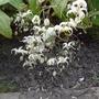 Epimedium acuminatum 'Galaxy' - 2015 (Epimedium acuminatum)