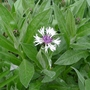 Centaurea_amethyst_in_snow_2015