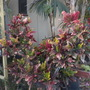 Croton - (Codiaeum variegatum 'Angel Wing') (Croton - (Codiaeum variegatum 'Angel Wing'))