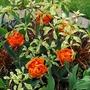 Cornus controversa variegata.