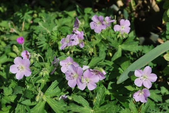 HG Beth Chatto..... (Geranium maculatum (Cranesbill) Beth Chatto)