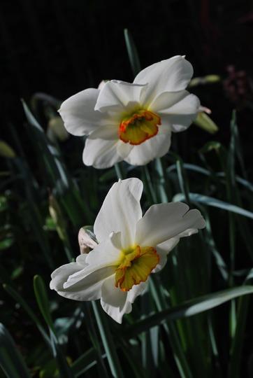 Narcissus possibly Pheasants Eye.... (Narcissus poeticus (Poet's Daffodil) Recurvus.)