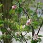 Apple Blossom.