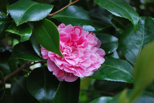 Another Camellia going well..... (Camellia japonica (Camellia)?)