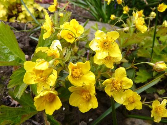 Waldsteinia ternata flowers (Waldsteinia ternata (Waldsteinia))