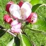 Apple Blossom on the Cobra Apple tree.