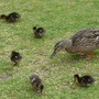 Mallard Mother and Ducklings