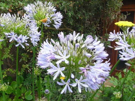 Agapanthus. (Agapanthus africanus (African blue lily))