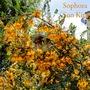 Sophore Sun King (Sophora Sun King)