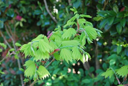 Acer Aureum...... (Acer Shir. Aureum)