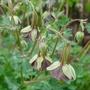 Aquilegia viridiflora - 2015 (Aquilegia viridiflora)
