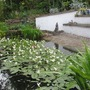 The pond. (Aponogeton distachyos (Water hawthorn))
