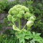 Angelica archangelica (Angelica)