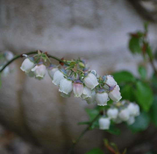 Blueberry flowers... (Vaccinium corymbosum (Blueberry))