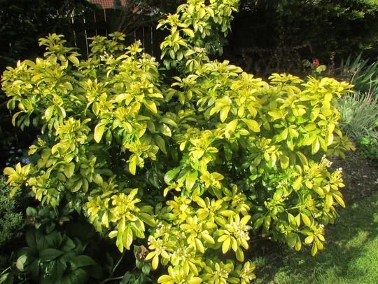 Choisya sun dance flowering. (Choisya ternata (Mexican orange blossom))