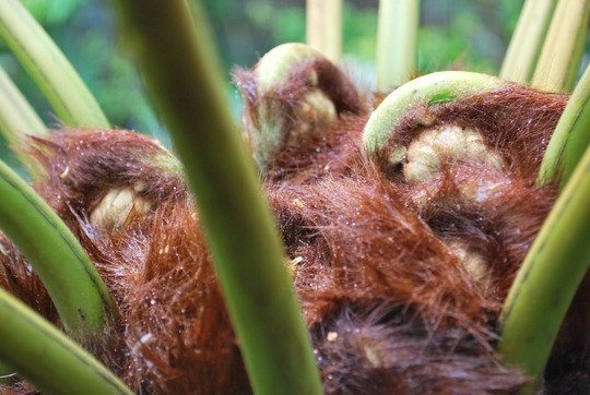 Its hairy spider time.... (Dicksonia antarctica (Soft tree fern))