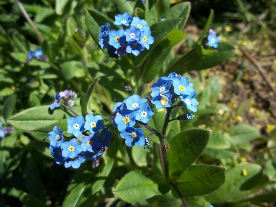forget me not close-up