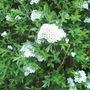 shrub 38 flowers1