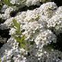 shrub 38 flowers close-up