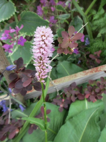 """Bistort to replace the pic on its side (Persicaria bistorta (Bistort) """"Superba"""")"""