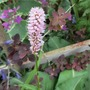 "Bistort to replace the pic on its side (Persicaria bistorta (Bistort) ""Superba"")"