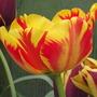 Banja Luka (tulipa darwin)