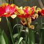 Banja Luka 2 (tulipa darwin)