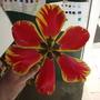 Banja Luka close up (tulipa darwin)