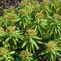 Euphorbia mellifera  ( honey spurge )