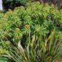 Euphorbia mellifera ( honey spurge )