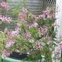 Minature Lilac