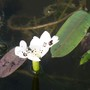 Water Hawthorn...my only bloom, but it's a start! (Aponogeton distachyos (Water hawthorn))